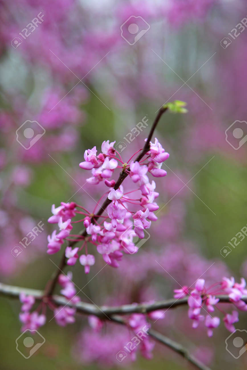 Pink Flowers Spring Bloom On Trees Stock Photo Picture And Royalty