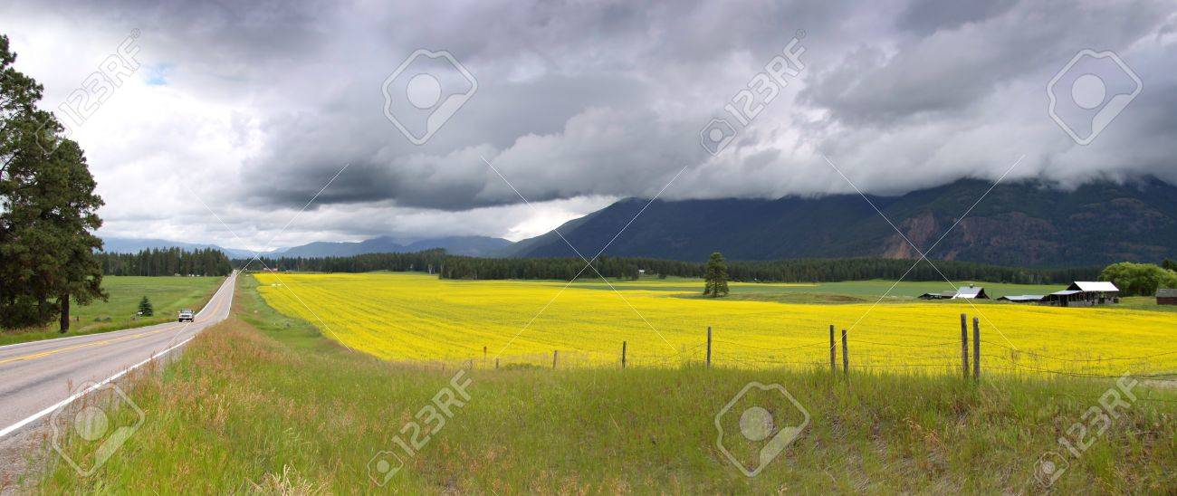 Yellow rapeseed fields in Montana on a cloudy day - 17067889