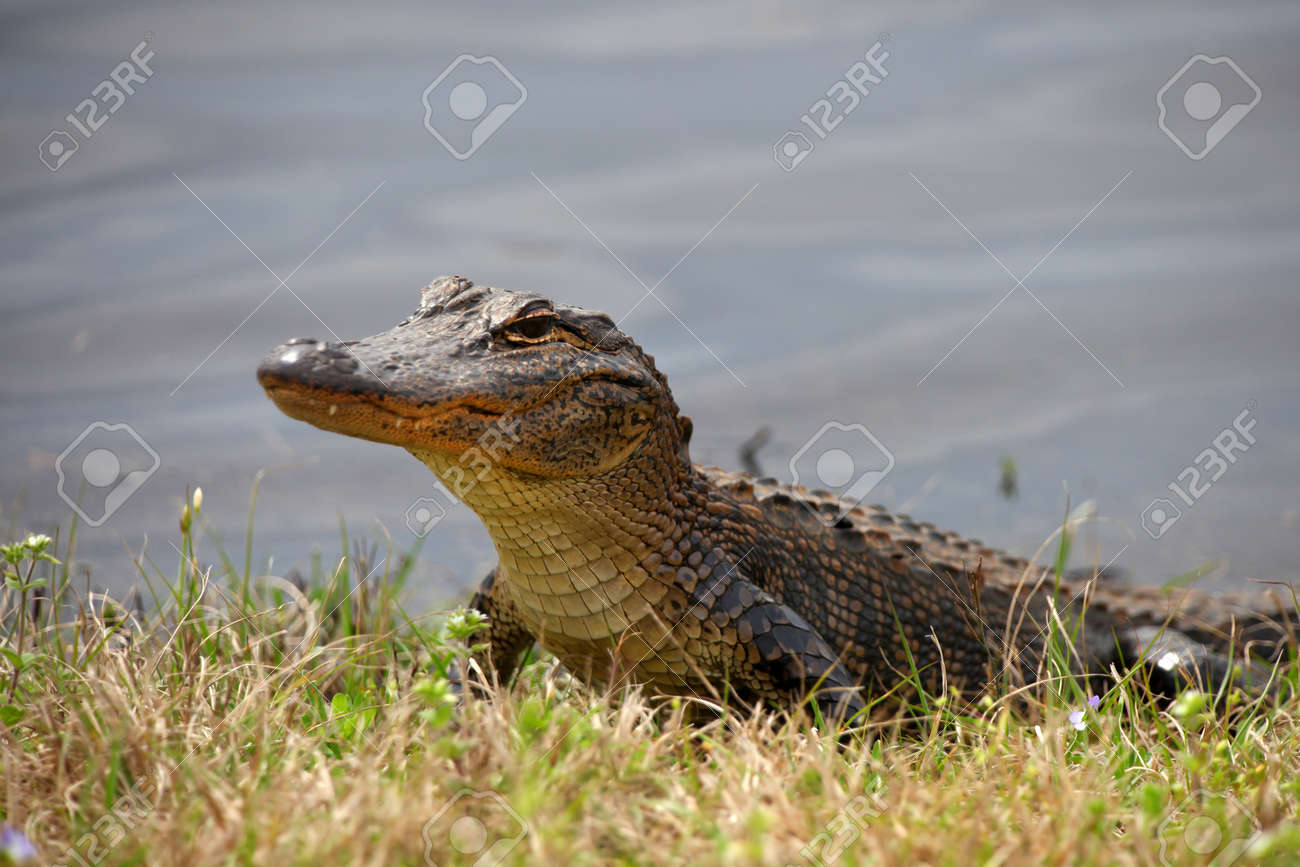 American Alligator in the Everglades national park Stock Photo - 18505243