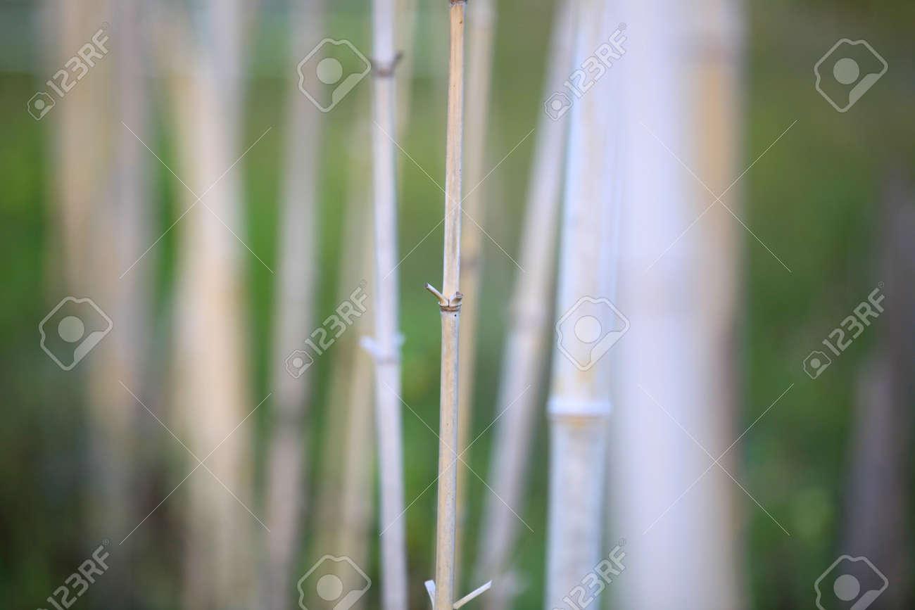 Steli Di Bamb.Primo Colpo Di Steli Di Bambu