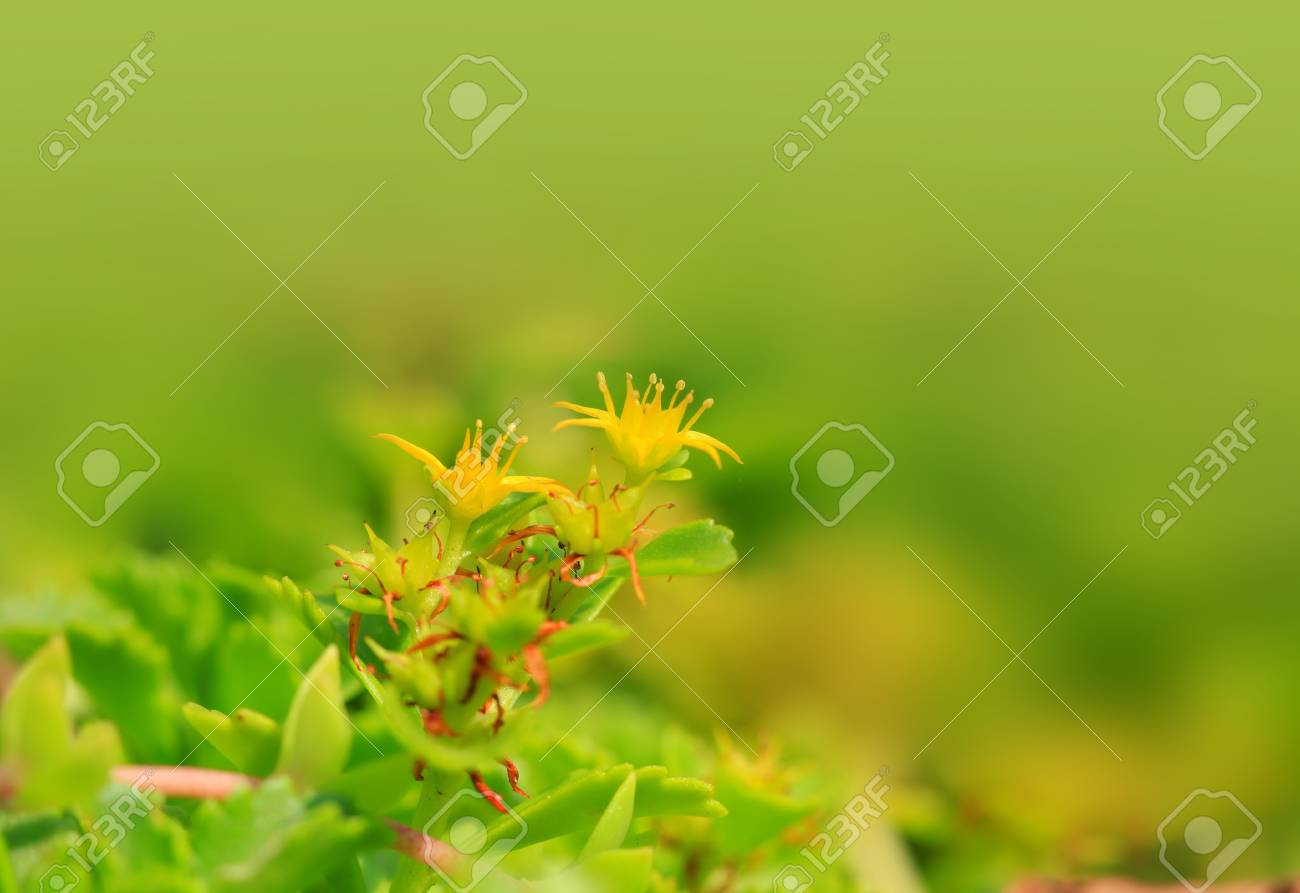 Tiny Yellow Flowers On A Plant Stock Photo Picture And Royalty Free