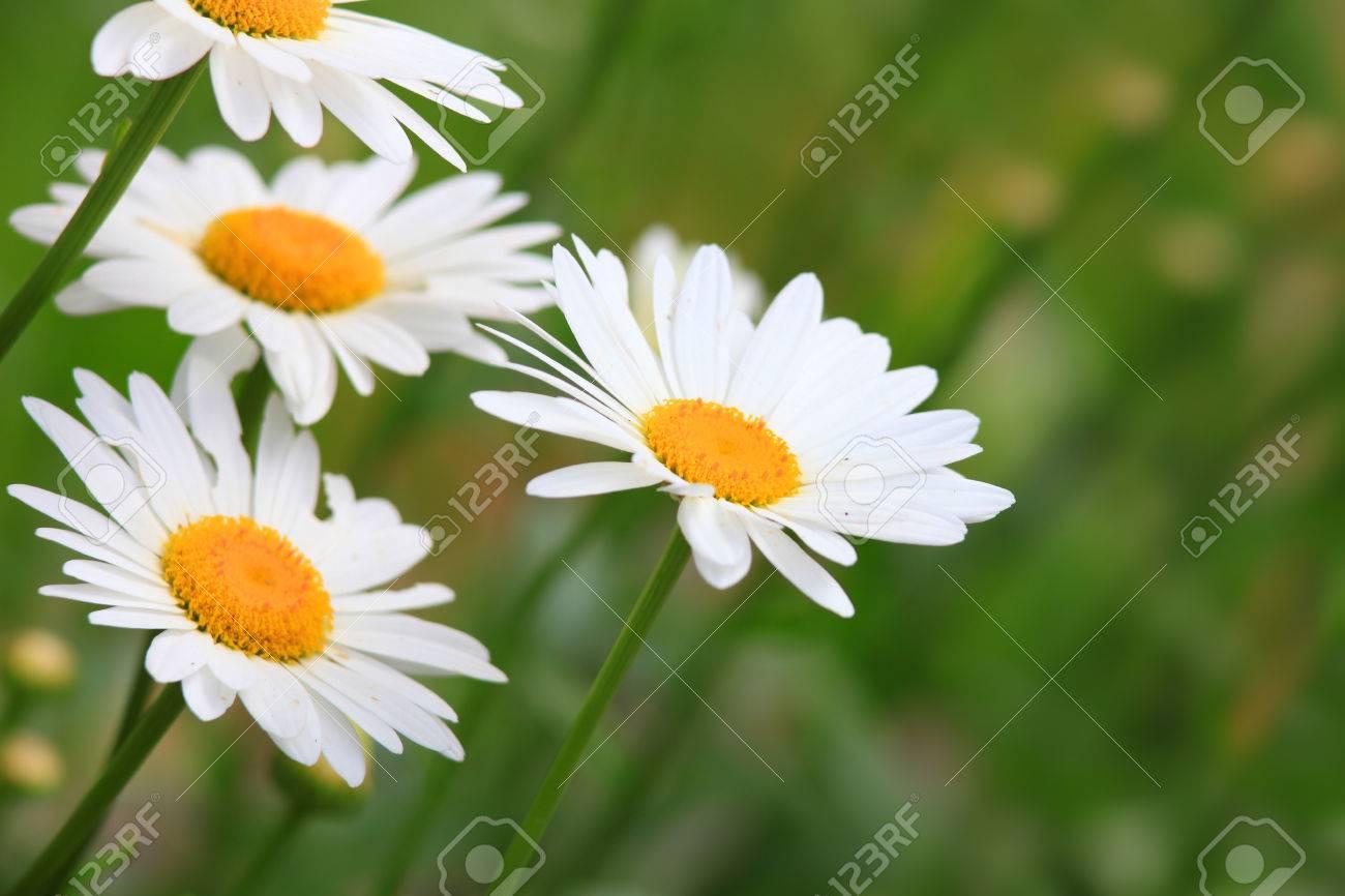 White aster flowers in the garden stock photo picture and royalty stock photo white aster flowers in the garden mightylinksfo