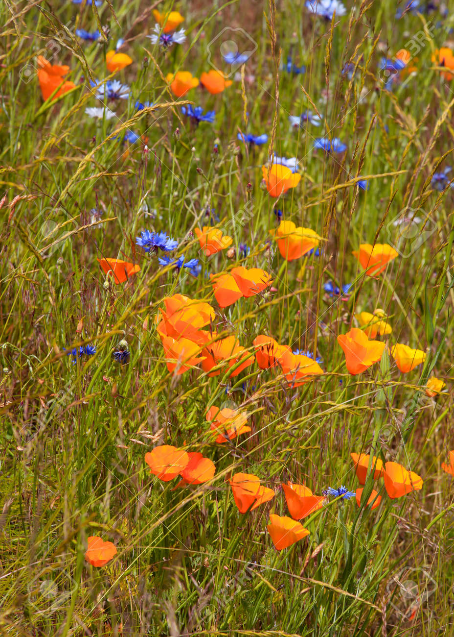 Orange Poppy Flowers Growing Wild In The Grass Stock Photo Picture