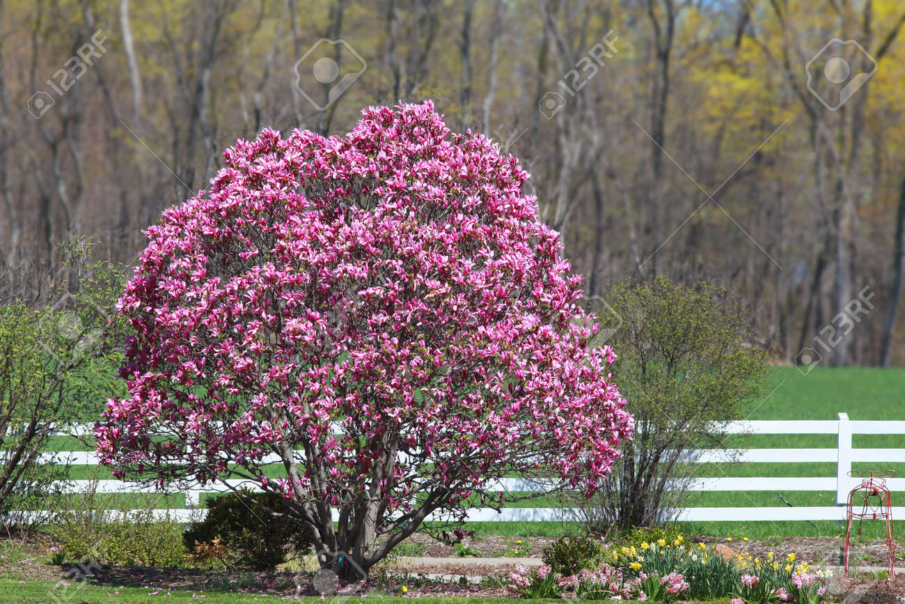 Magnolia Tree In Full Bloom Stock Photo Picture And Royalty Free