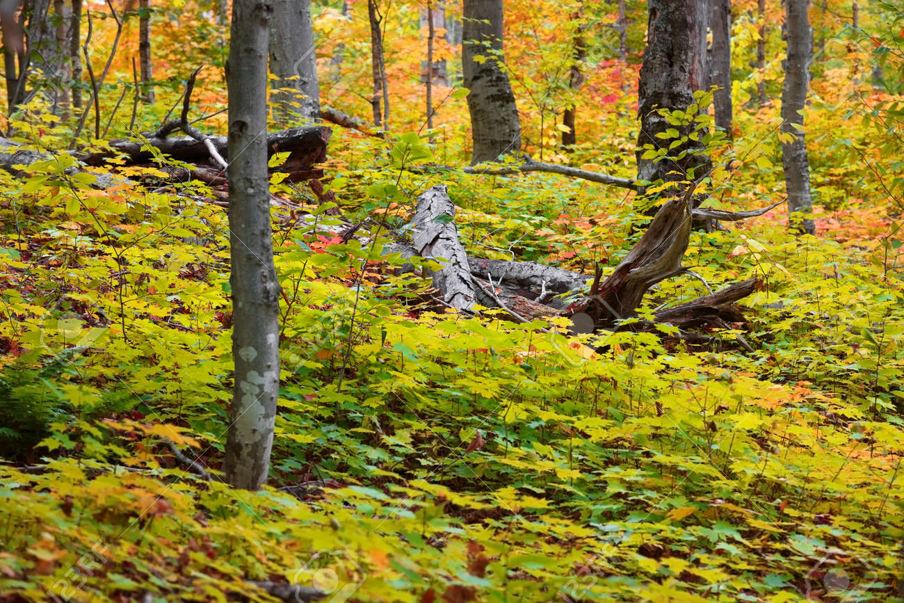 Dead trees in the middle of lush Maple plants in autumn time - 163916604