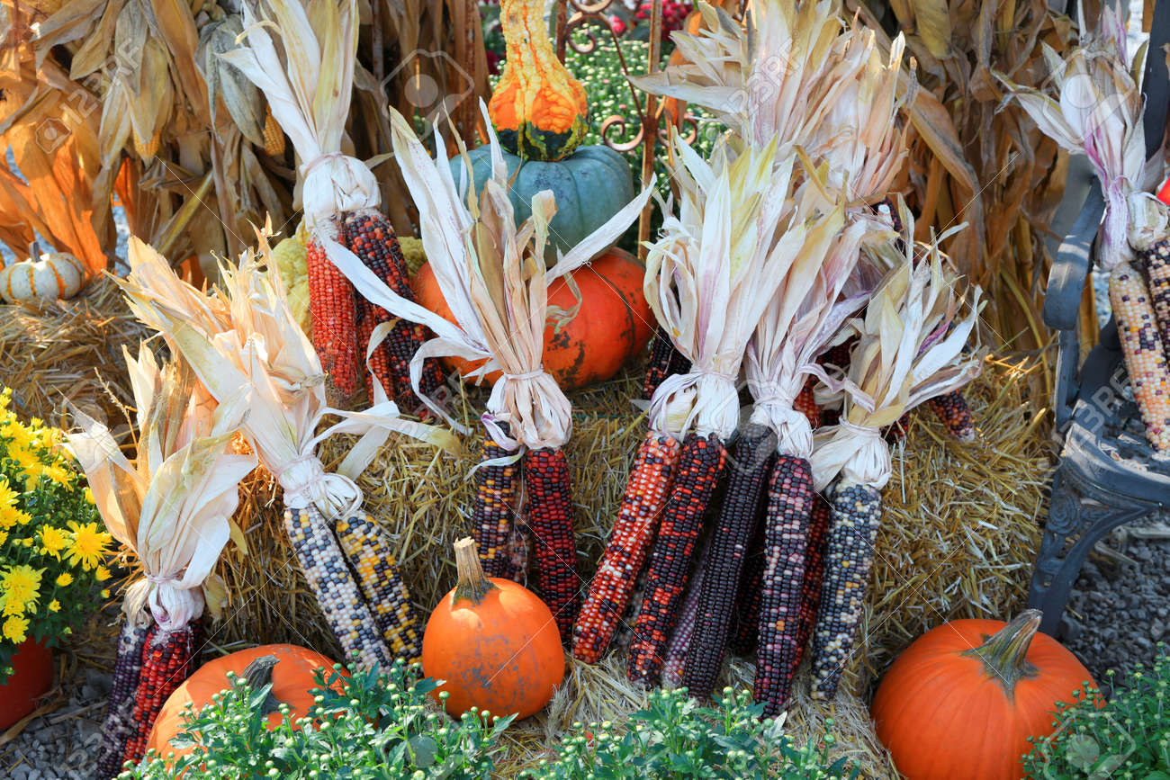 Arrangement of fresh corns pumpkins and gourds showing fresh harvest concept. - 163916610