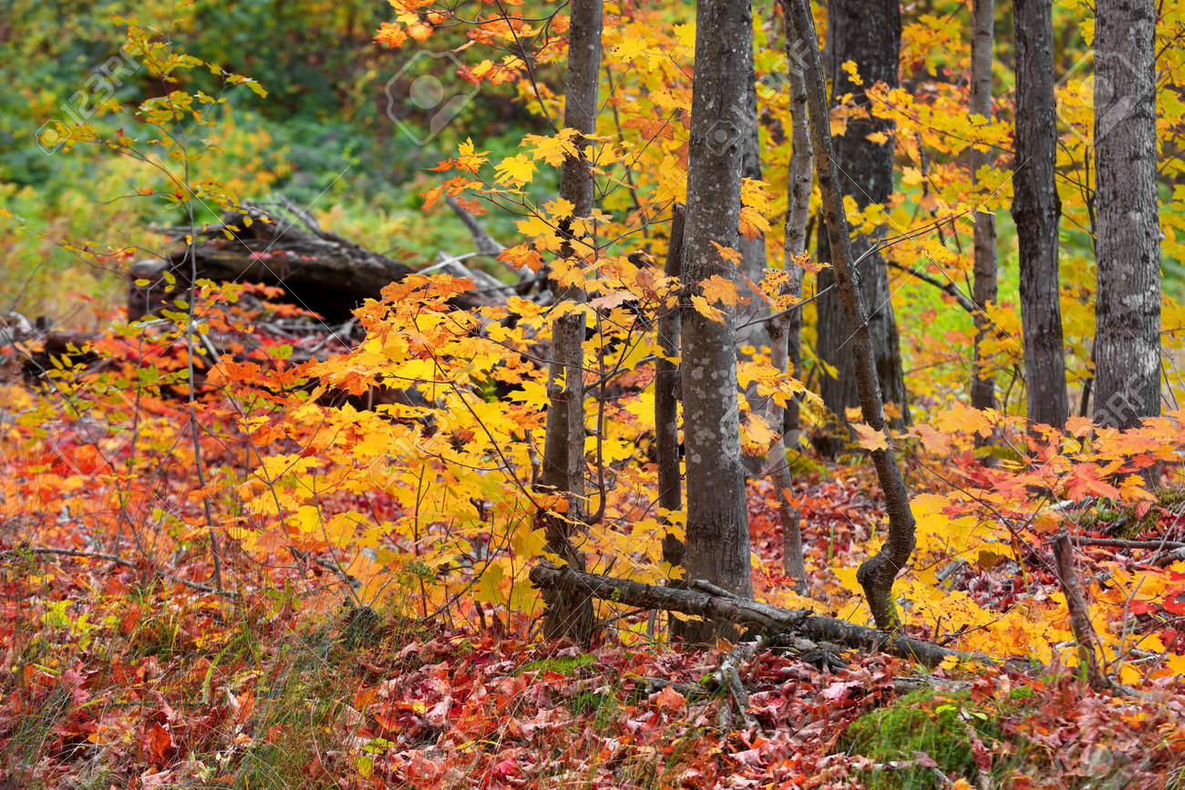 Close up shot of Maple trees in the forest - 163023968