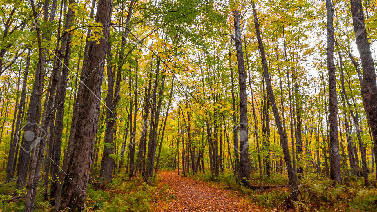 Tall Maple trees along the forest trail - 163916619