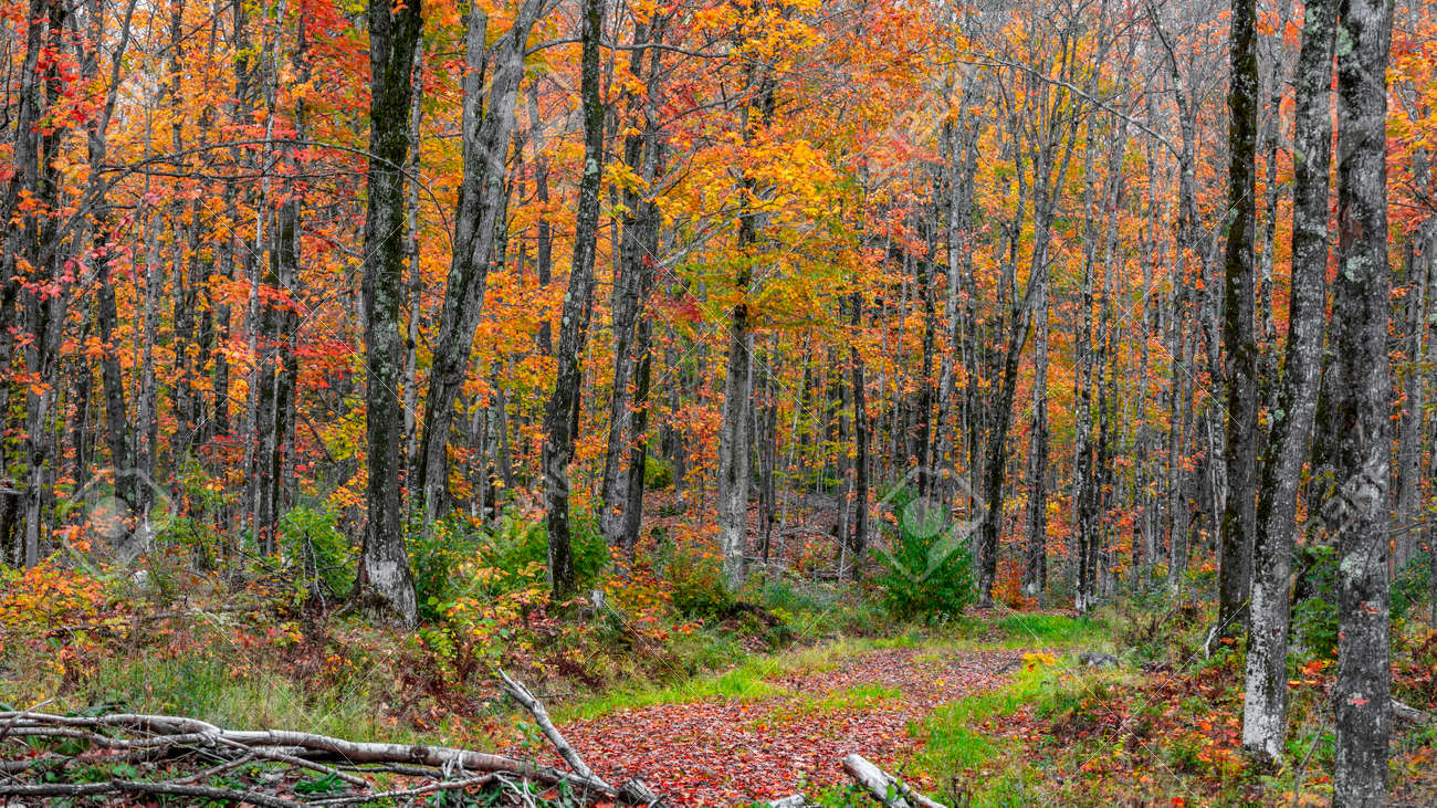 Tall colorful Maple trees in the forest - 163916622