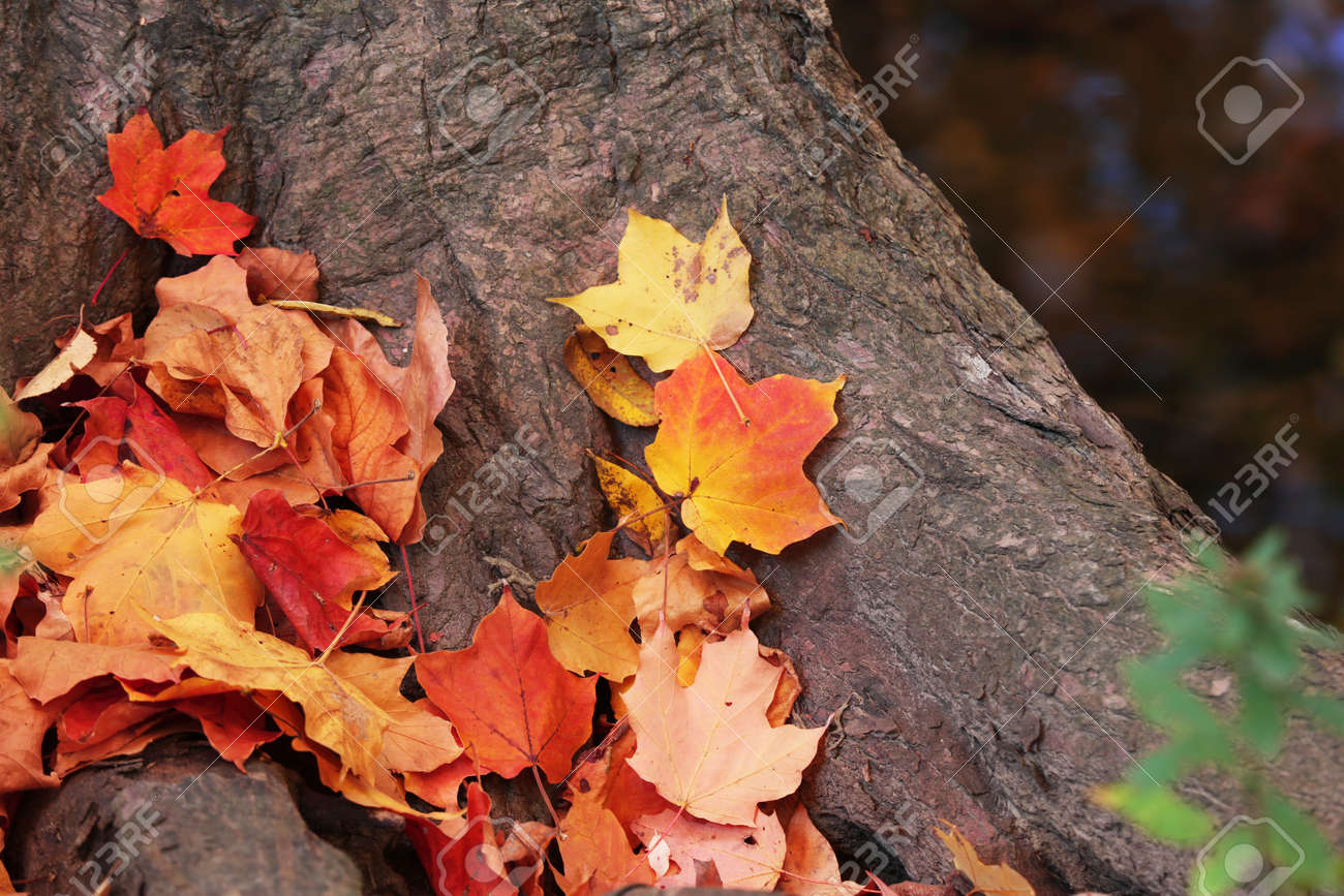 Colorful Maple leaves on a trunk of tree - 163916624