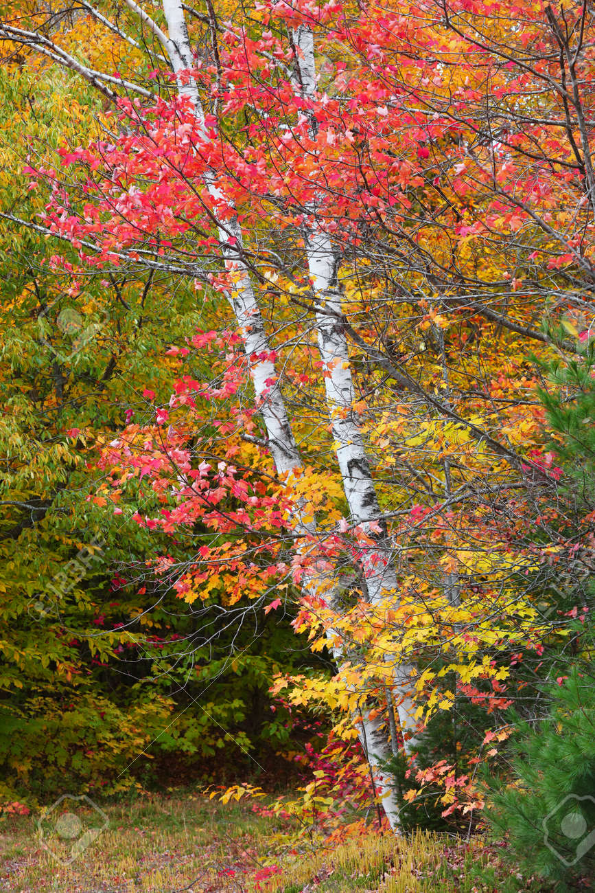 Silver birch tree surrounded with colorful maple leaves - 163916656