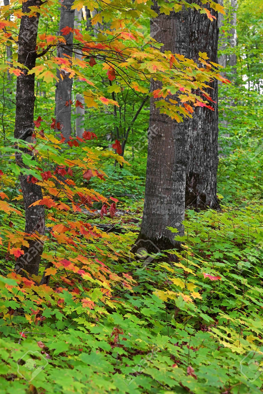 Tall trees surrounded with Maple plants in autumn time. - 164161325