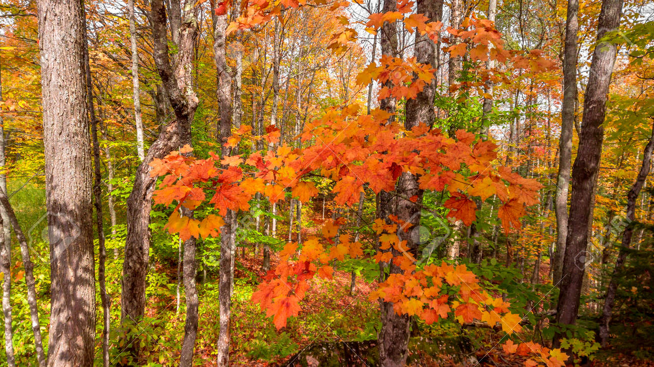 Close up shot of colorful Maple leaves in the forest during autumn time - 164161327