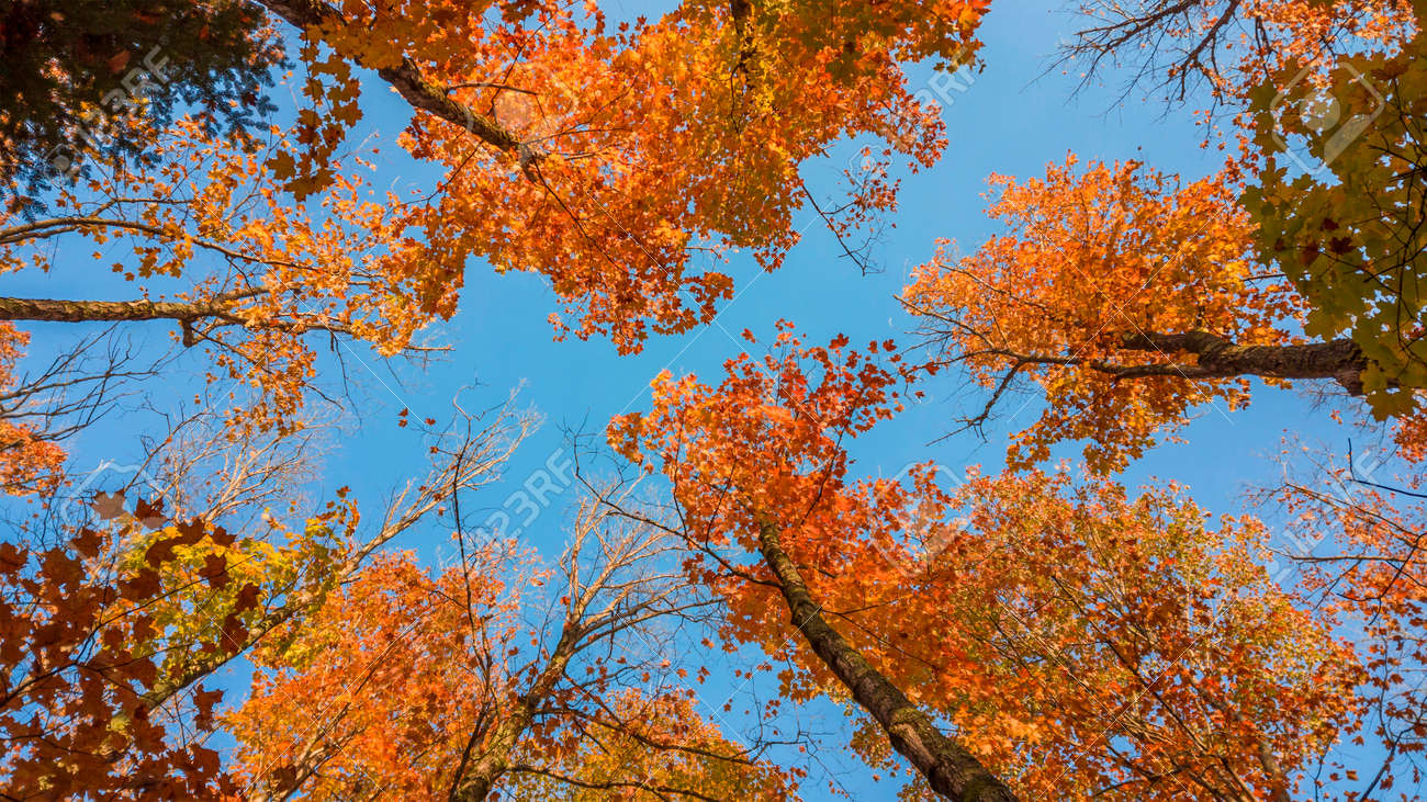 Tall Maple leaves reaching sky - 164161329