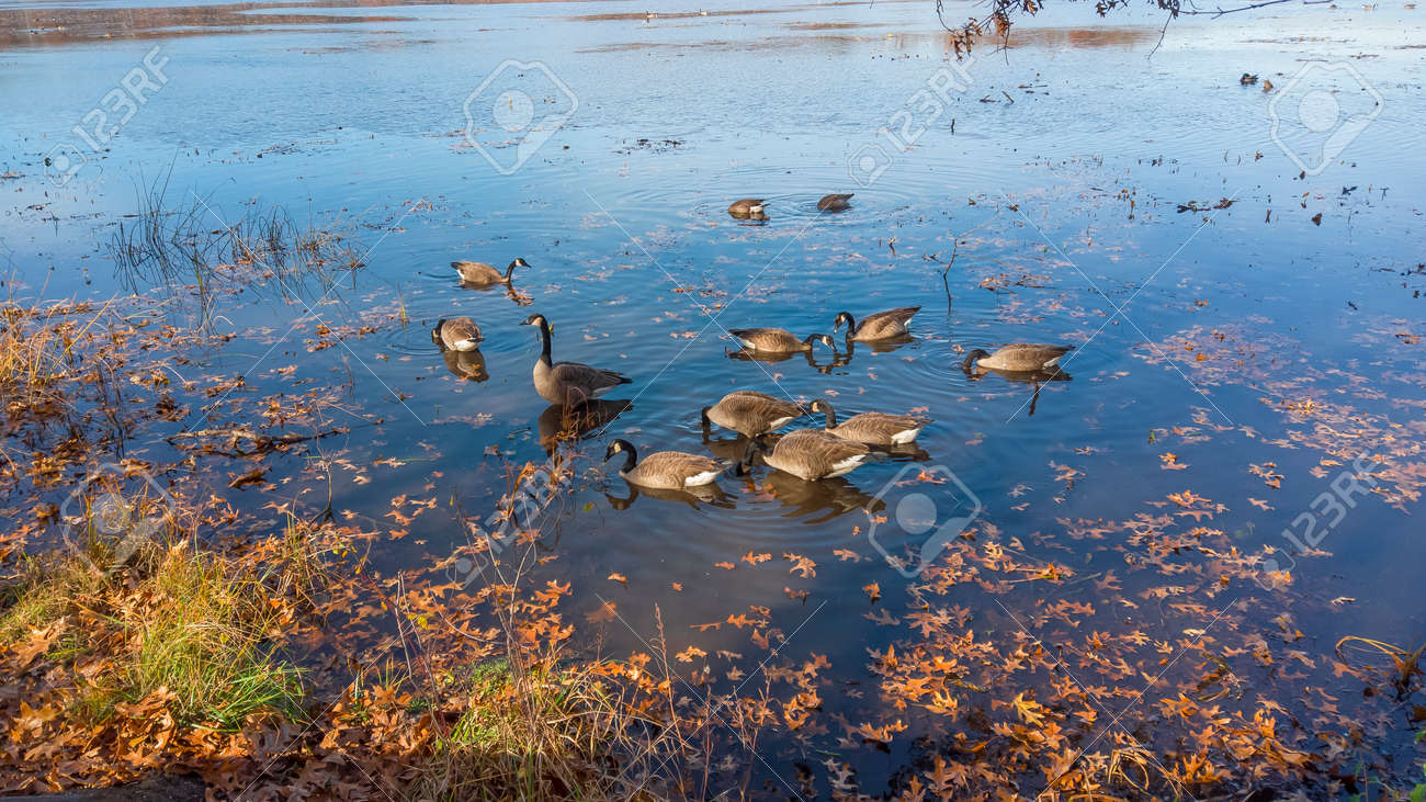 Several Canadian geese in the lake - 164161346