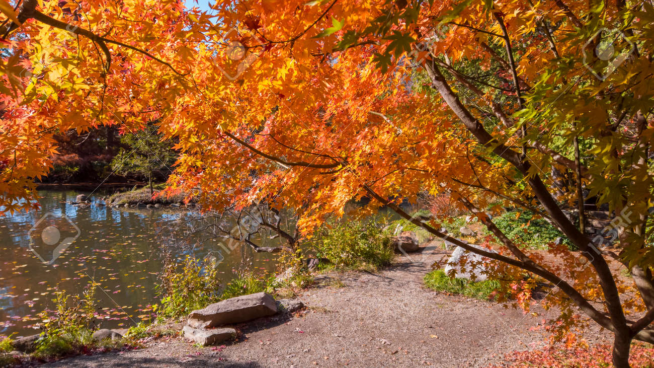 Colorful Japanese Maple tree by the pond - 164161373