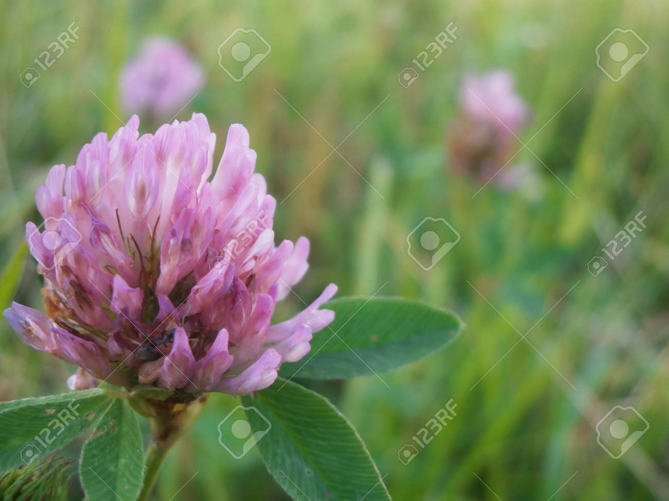 Purple Clover Flower Grows On Fresh Green Meadow Stock Photo