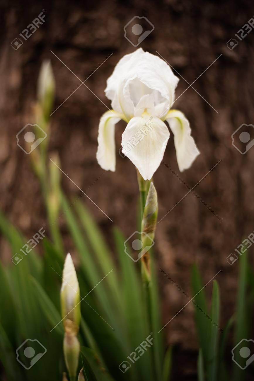 White Iris Flower Spring Flower In The Garden Alone Iris Stock