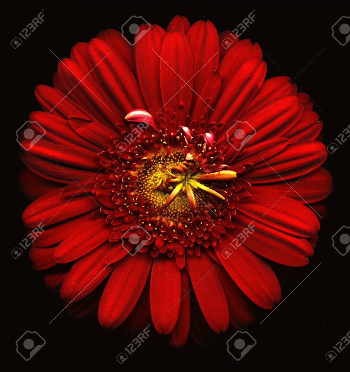 Immagini Stock Fiore Rosso Su Sfondo Nero Image 12587009
