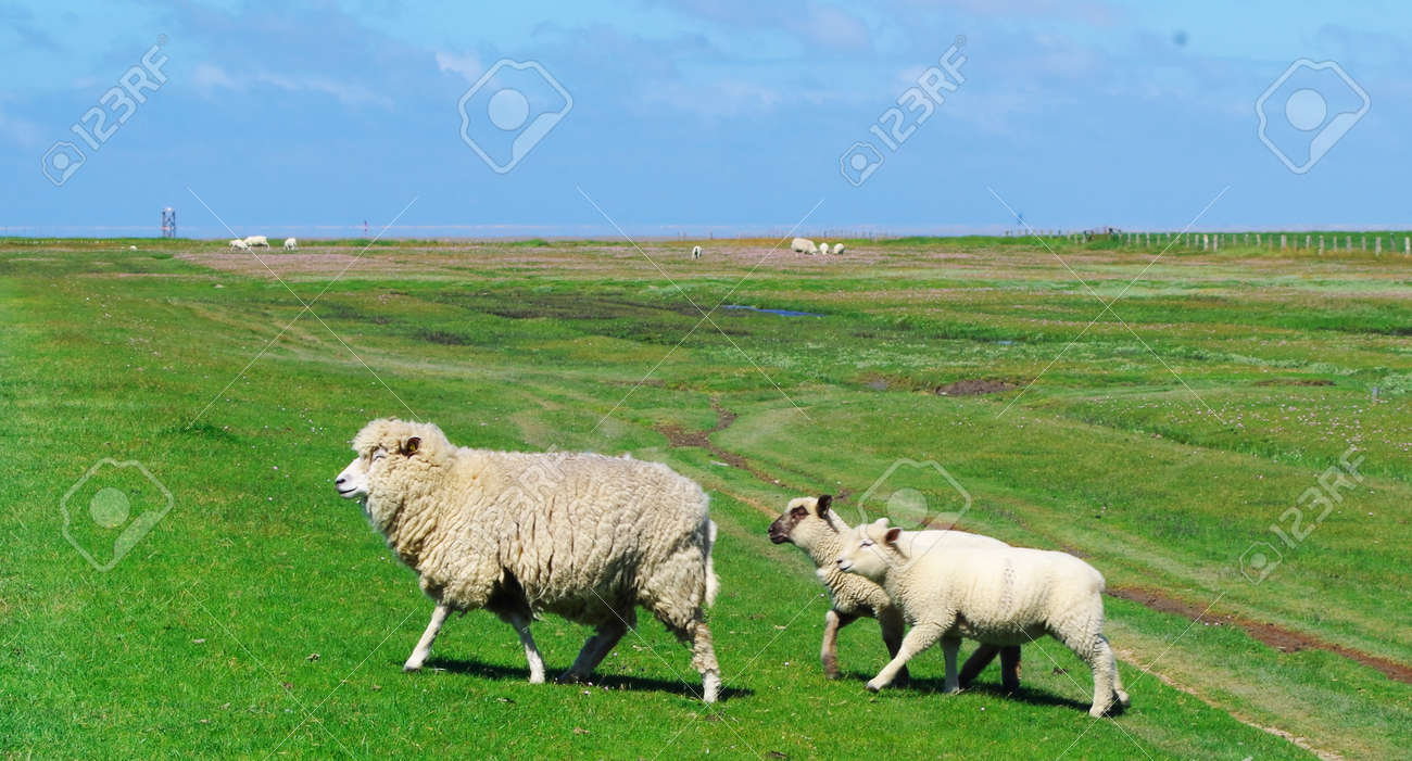 Running sheep with its lambs on the salt marshes of the North