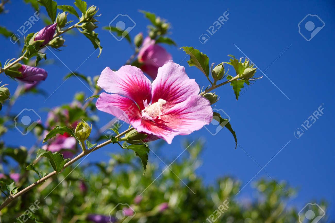 Pink Hibiscus Tropical Flower Against Blue Sky In Spain Costa