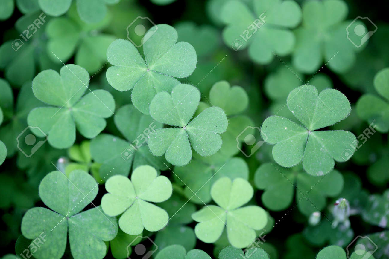 Three Leaf Clovers For Backgrounds Stock Photo Picture And Royalty