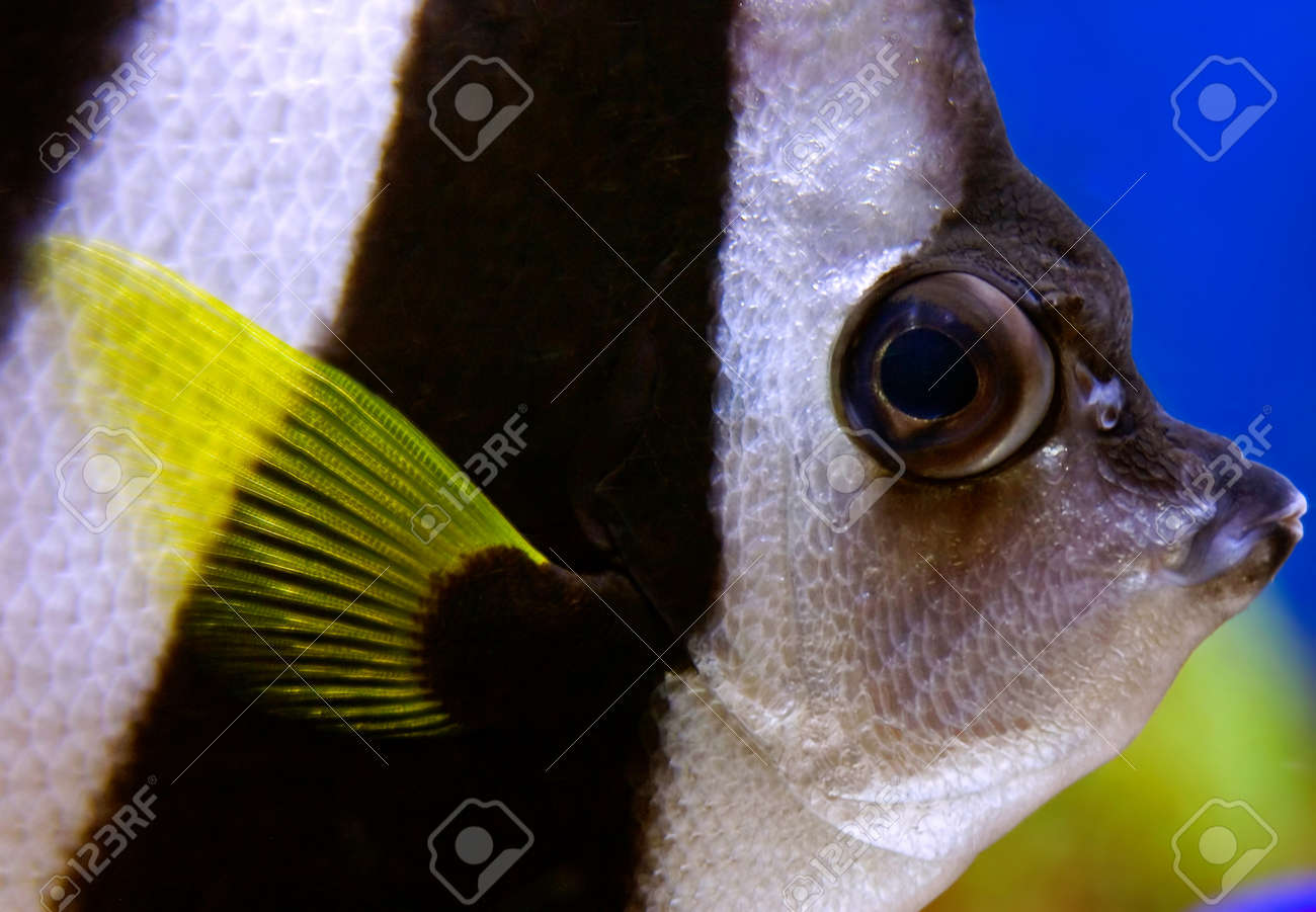 Schooling bannerfish (Heniochus diphreutes) sometimes reffered as angelfish closeup. Stock Photo - 18070077
