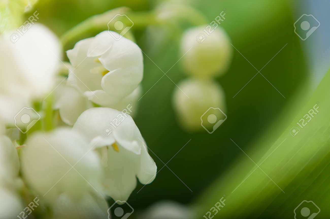 Close Up Of Lily Of The Valley Royalty Vrije Foto Plaatjes