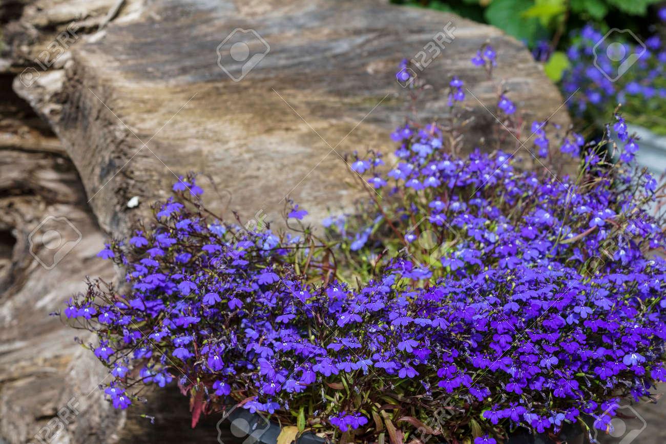 Colorful Lobelia Flower In The Summer Garden Is A Genus Of Flowering
