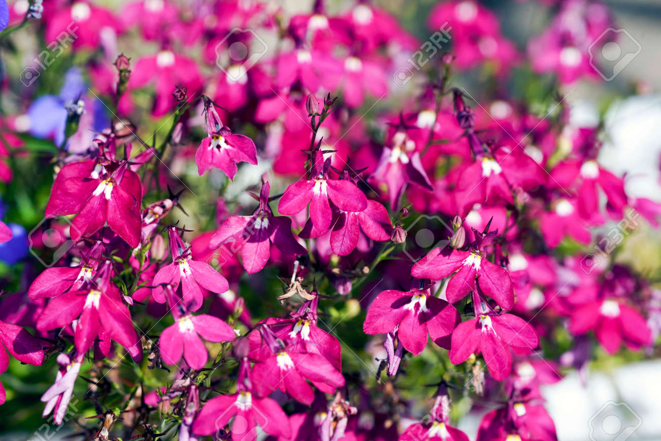 Red Flowers Of Lobelia In The Summer Garden Is A Colorful Tiny