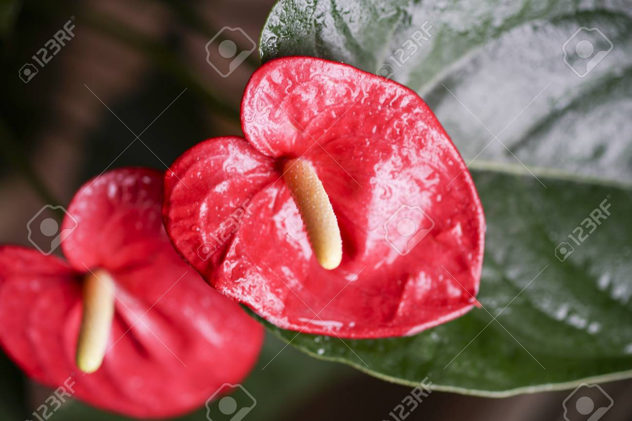 Colorful Anthurium Flower Colors Image Collection - Drawing Coloring ...