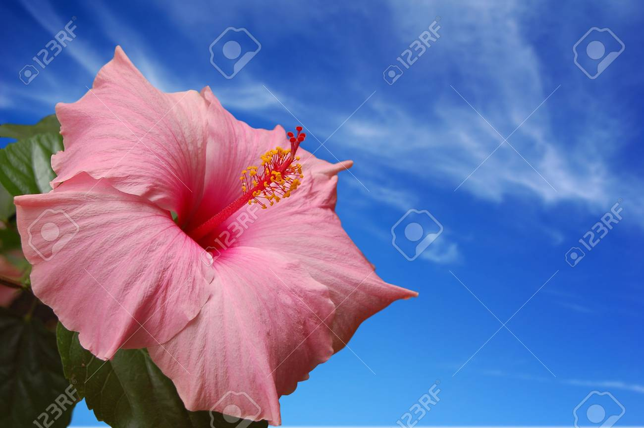 Hibiscus Flower against a blue sky. Stock Photo - 1281768