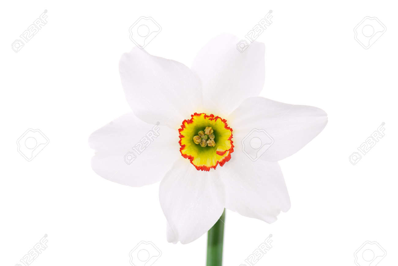 One narcissus flower isolated on white Stock Photo - 6998065