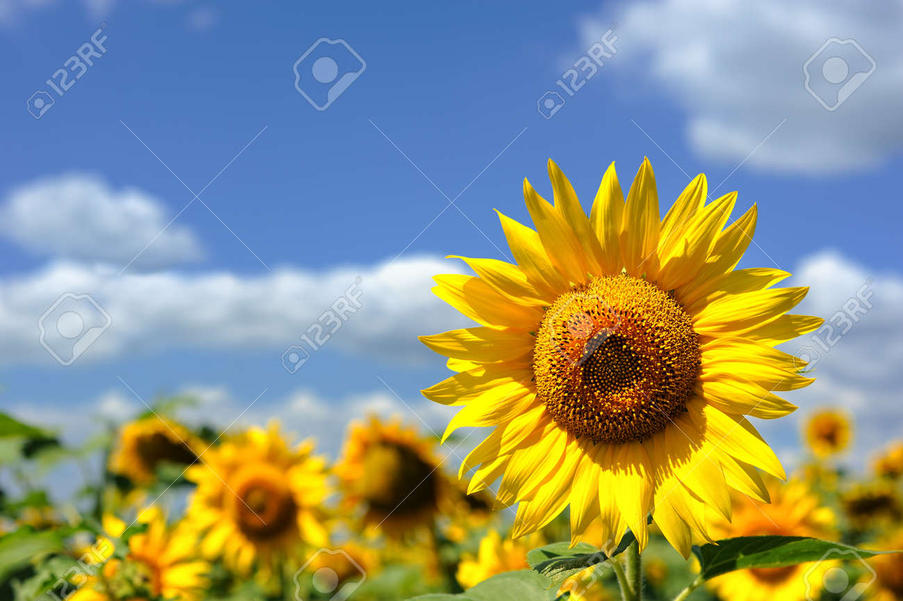 portrait of a sunflower in the field Stock Photo - 11541133