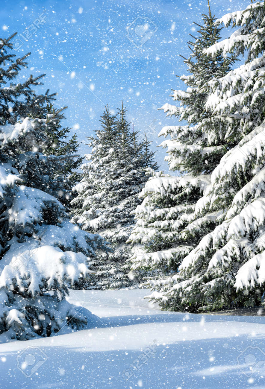 fir trees covered by snow - 32147206