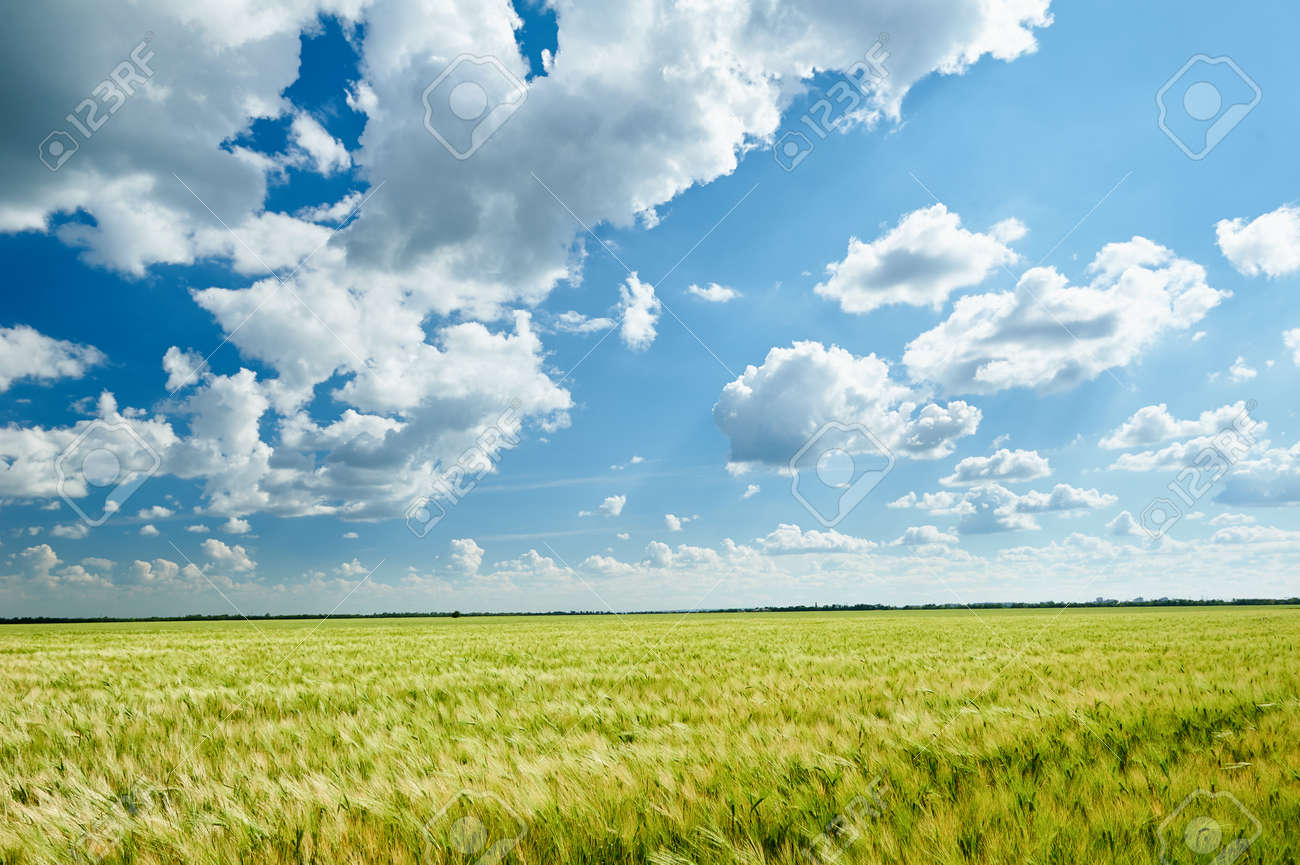 wheat field and blue sky summer landscape - 40832628