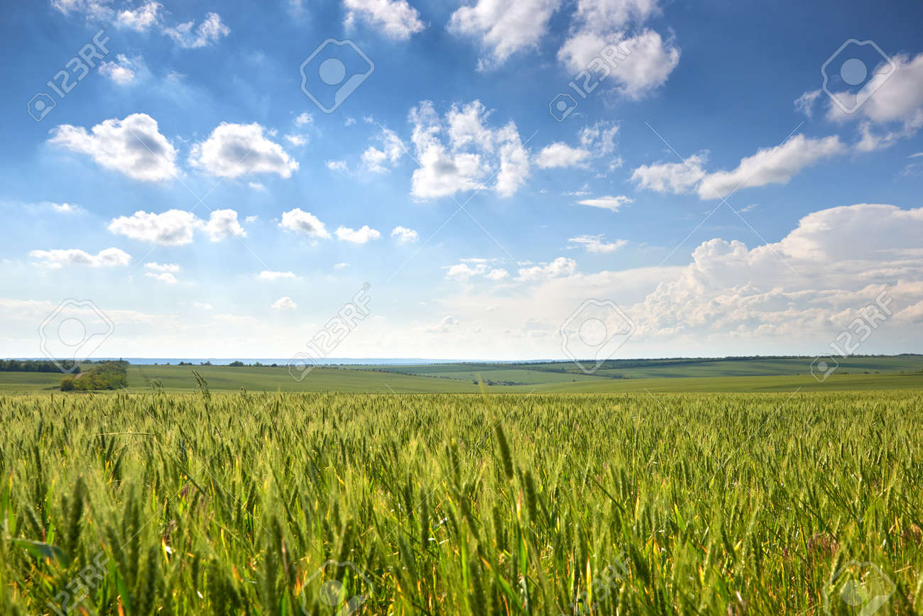 spring landscape - agricultural field with young ears of wheat, green plants and beautiful sky - 121364217