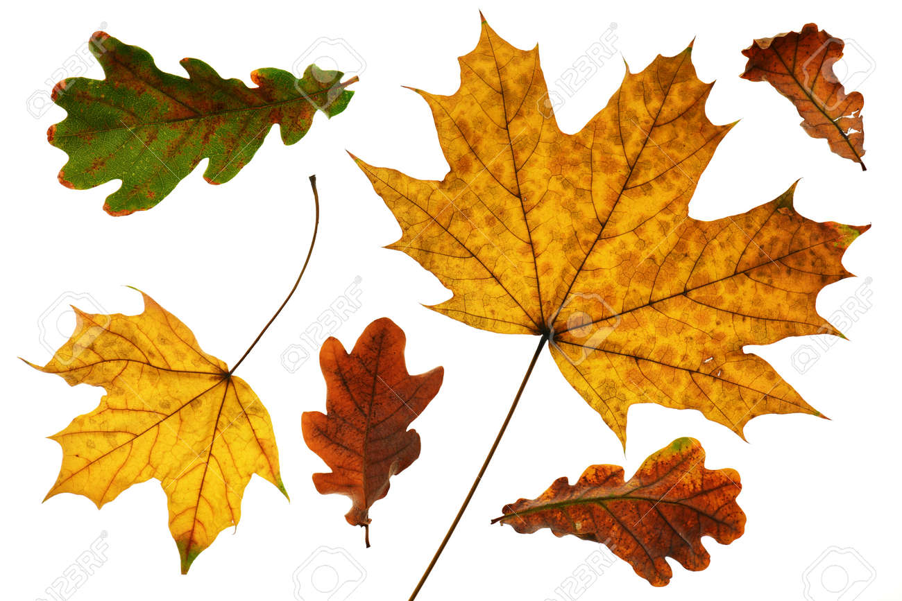 collection of autumn leaf closeup objects in details, bright and colorful, white background isolated, macro photo, depth of field entire object - 155942451