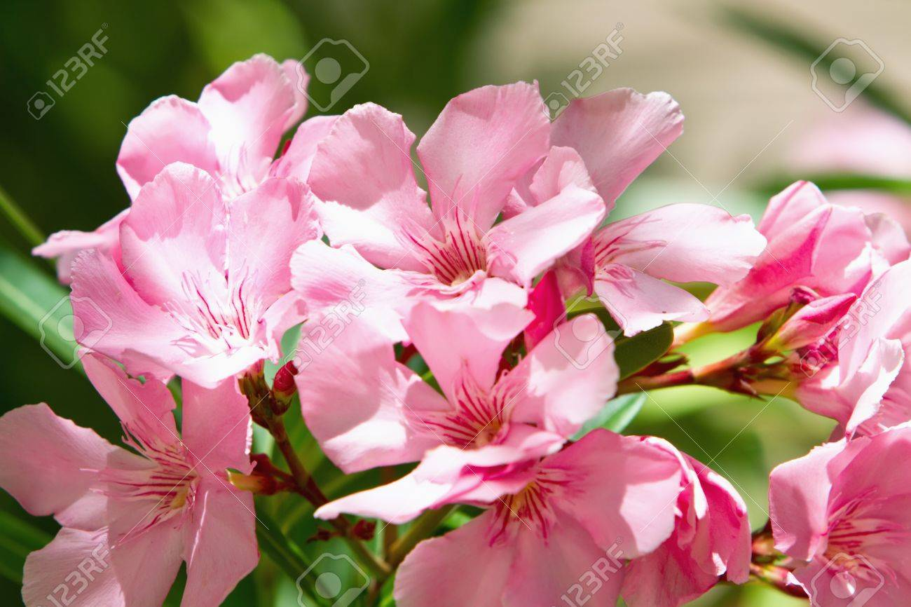 Beautiful pink oleander flower in bloom stock photo picture and beautiful pink oleander flower in bloom stock photo 7164178 mightylinksfo