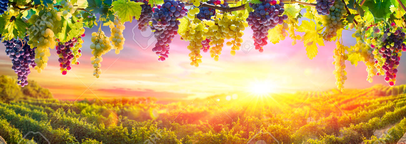 Bunches Of Grapes Hanging Vine Plants With Defocused Vineyard At Sunset - 154842754