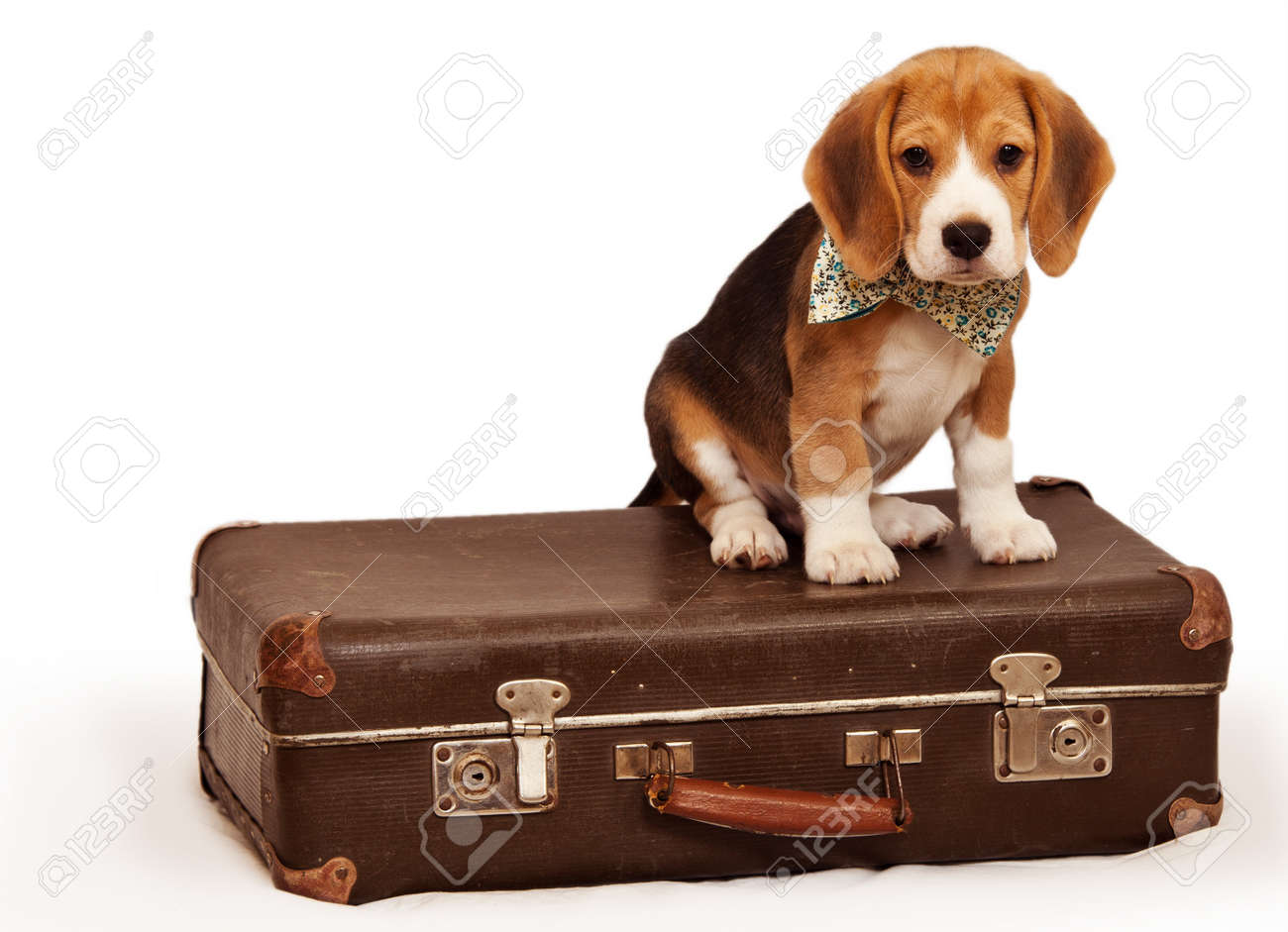 Cute beagle puppy sitting on the old suitcase stock photo picture cute beagle puppy sitting on the old suitcase stock photo 18868276 voltagebd Gallery