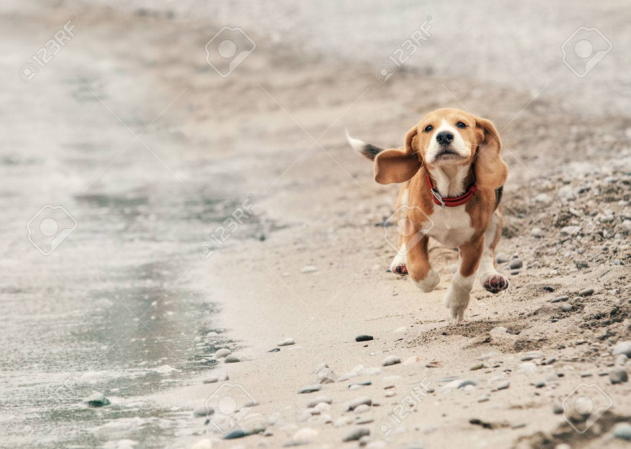 Best Sea Beagle Adorable Dog - 38320839-beagle-puppy-running-on-the-sea-beach  Picture_124128  .jpg
