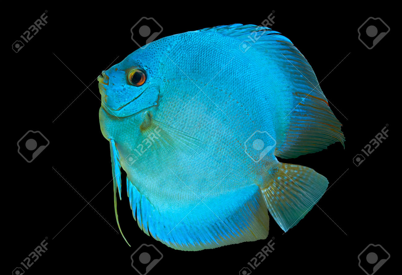 Freshwater fish amazon - Blue Discus Freshwater Fish Native To The Amazon River Isolated On Black Stock Photo