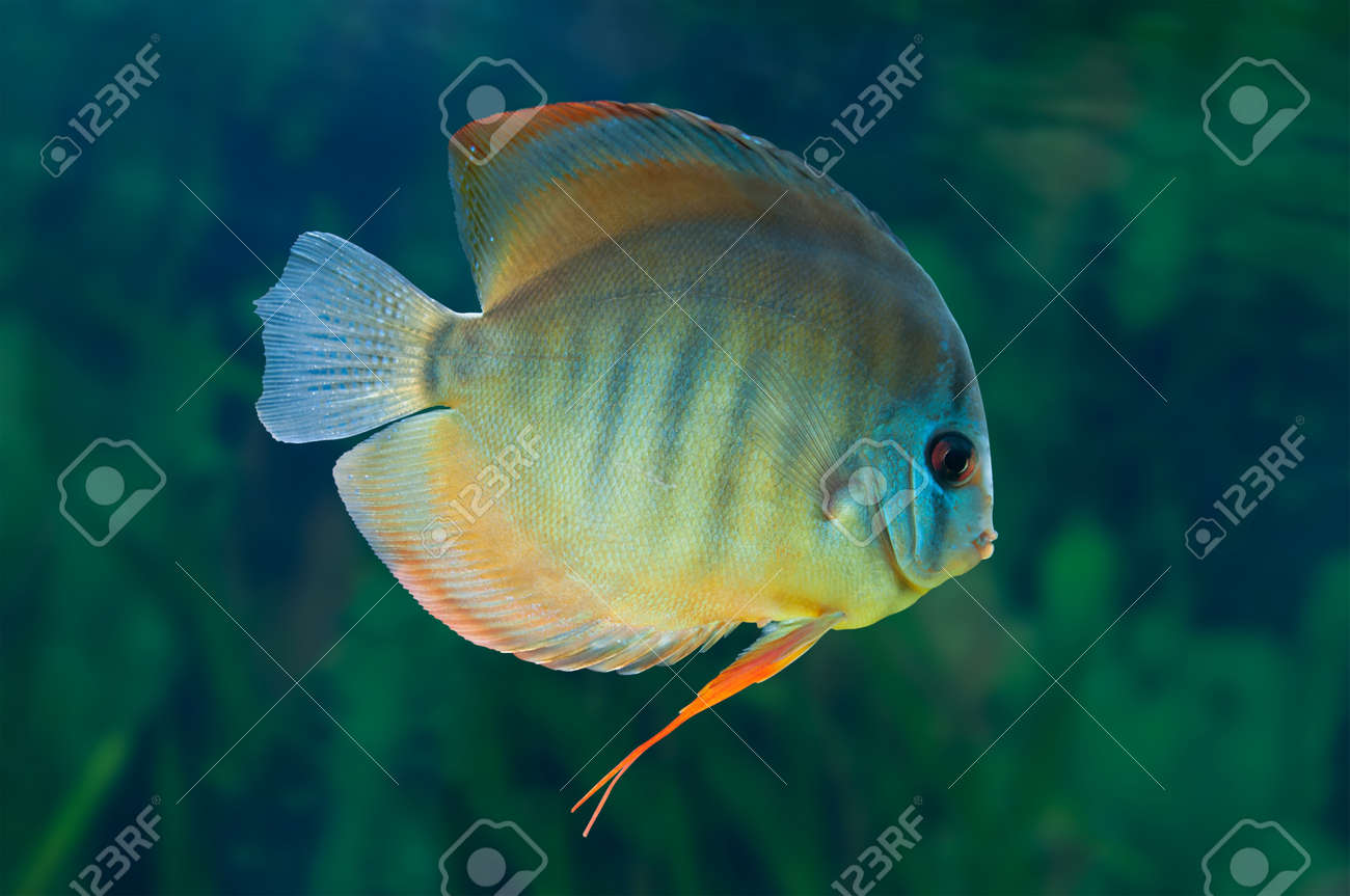Freshwater fish amazon - Discus Freshwater Fish Native To The Amazon River In Aquarium Stock Photo 38393924