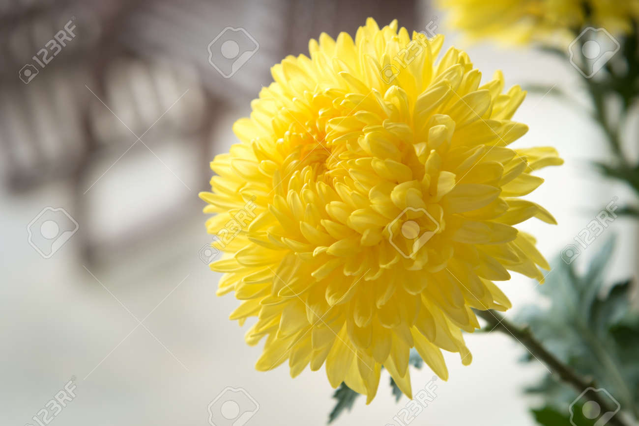 Yellow chrysanthemum golden daisy flower in coffee shop stock photo stock photo yellow chrysanthemum golden daisy flower in coffee shop izmirmasajfo