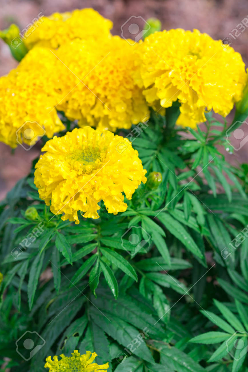 Beautiful Marigold Flowers In The Garden Yellow Marigold Flower
