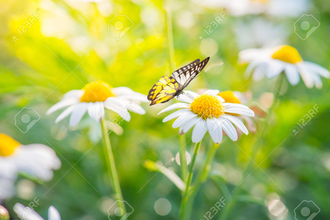 Exceptionnel White Daisy Flower With Butterfly Stock Photo   35474969