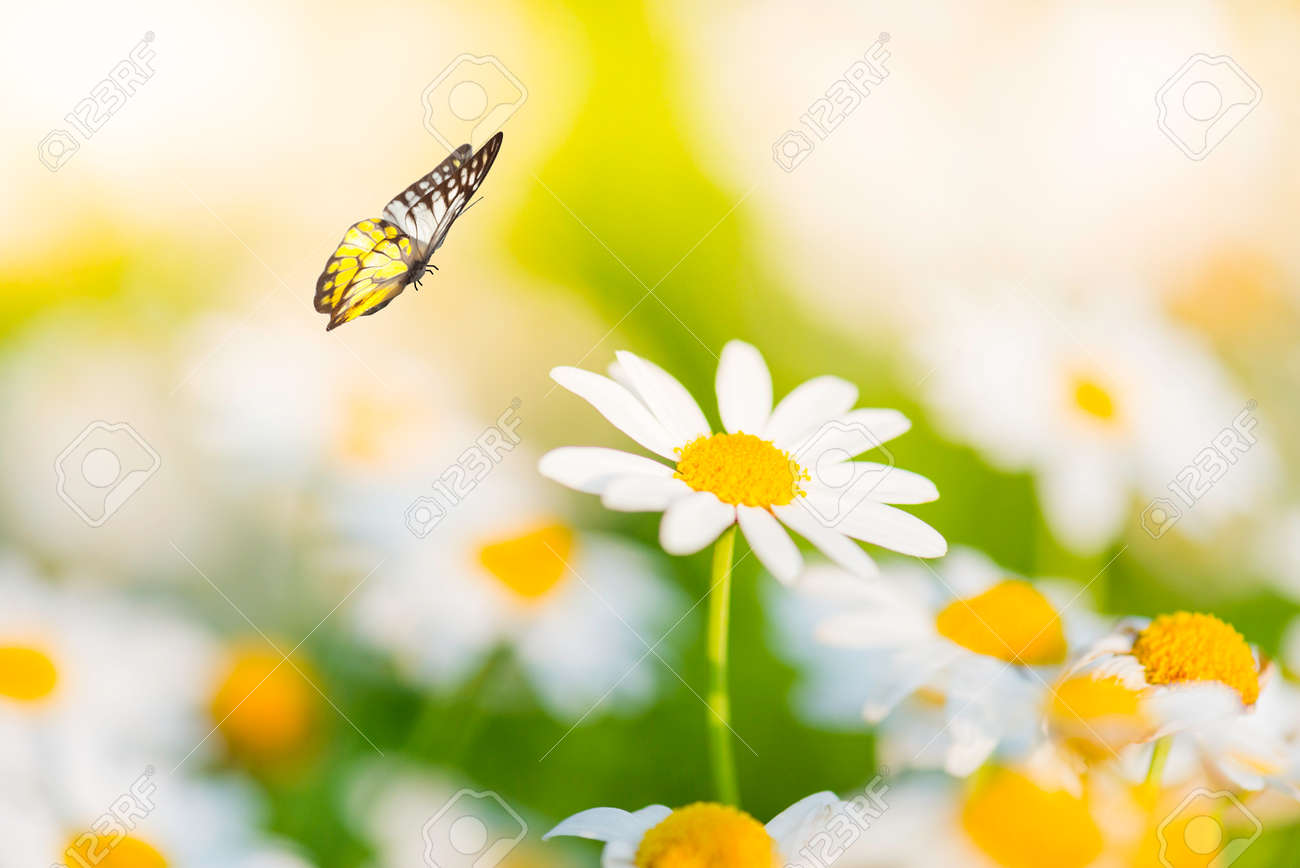 White Daisy Flower With Butterfly Stock Photo   35474947