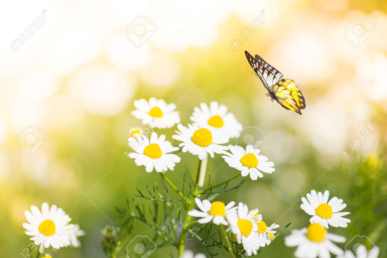 butterfly on white daisy flowers stock photo picture and royalty