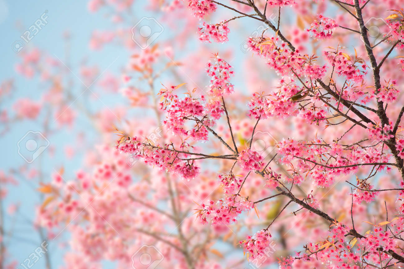 Sakura flower or cherry blossom with beautiful nature background sakura flower or cherry blossom with beautiful nature background stock photo 46933060 voltagebd Images